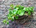 Un mur végétal dans ma serre salon Sans_n11