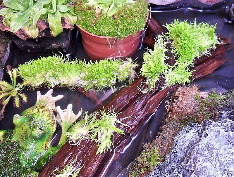 Utriculaire graminifolia U_gram11