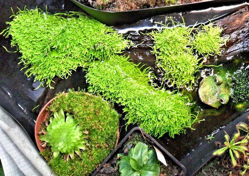 Utriculaire graminifolia U_gram12