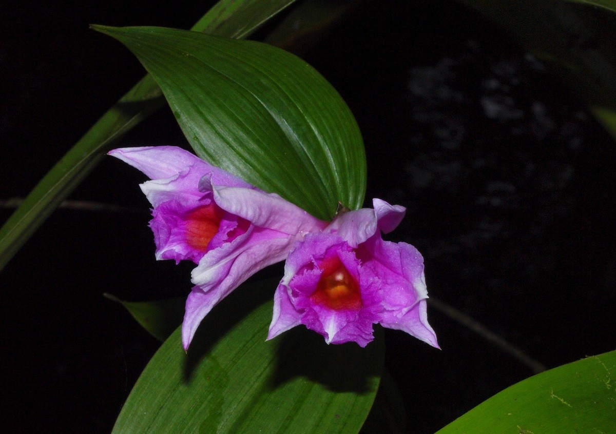 orchidees sauvages  de guyane 01911