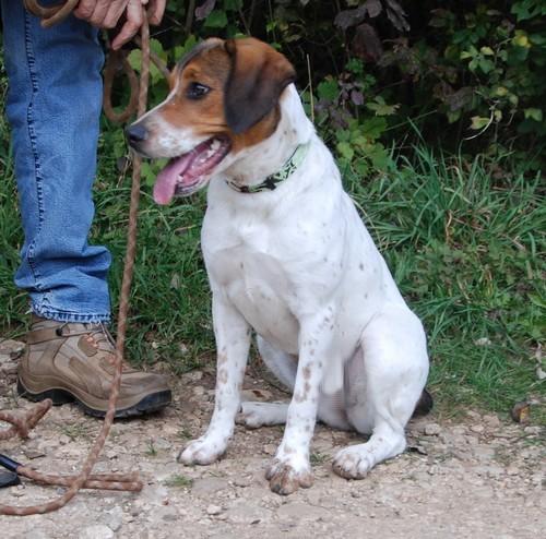 HAIKA, croisée Beagle femelle, née en janvier 2012 - SPA Oyonnax(01) Haika110