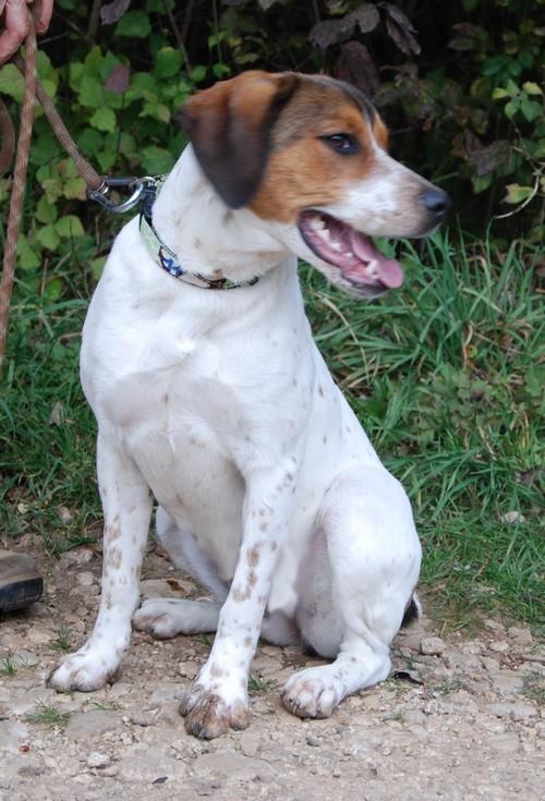 HAIKA, croisée Beagle femelle, née en janvier 2012 - SPA Oyonnax(01) Haika111