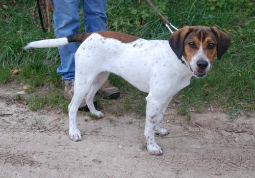 HAIKA, croisée Beagle femelle, née en janvier 2012 - SPA Oyonnax(01) Haika710