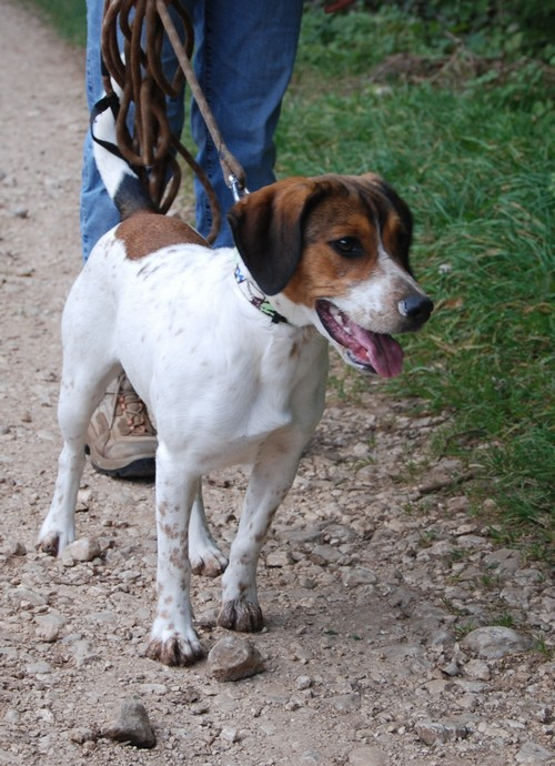 HAIKA, croisée Beagle femelle, née en janvier 2012 - SPA Oyonnax(01) Haika910