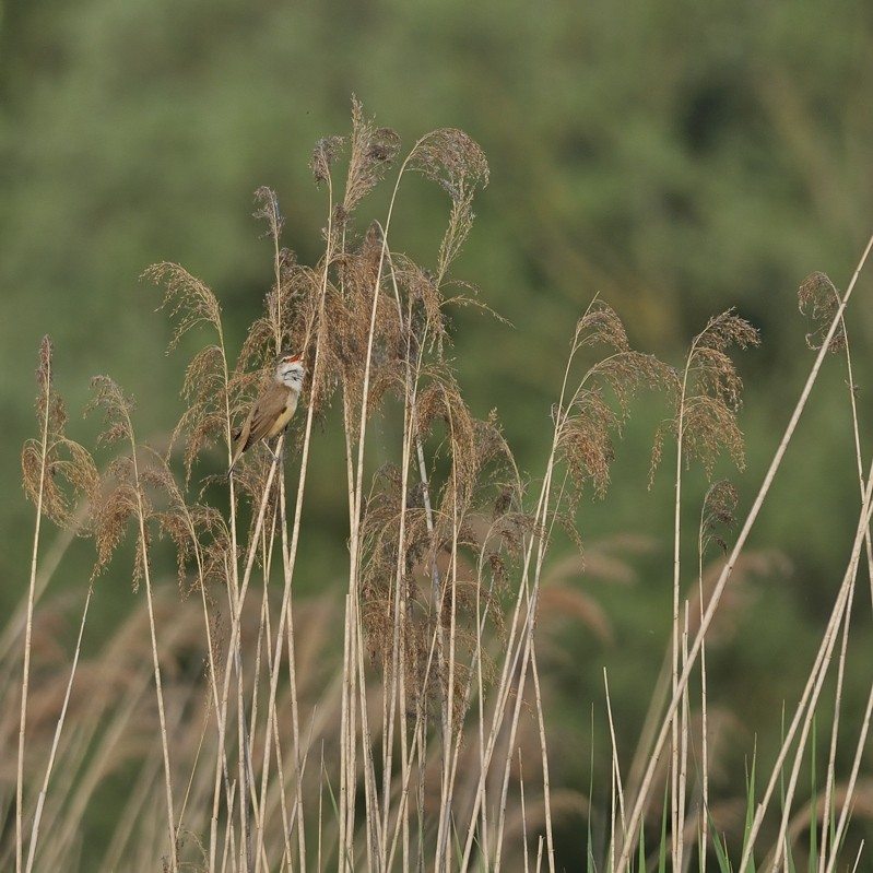 Série d'oiseaux prises à Remerschen 11050810
