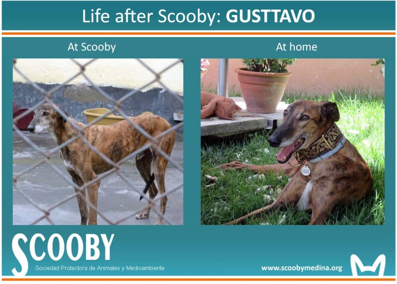 "Gustavo galgos à l'adoption ""Scooby France "" Adopté - Page 25 10504710"