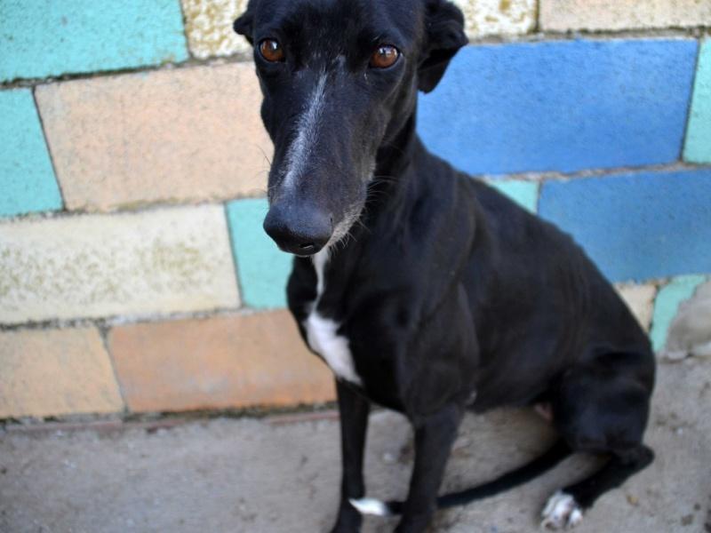 MELLI galga noire à l'adoption Scooby France  ADOPTEE Dsc_0472