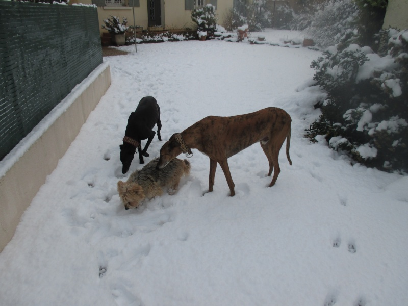 "Gustavo galgos à l'adoption ""Scooby France "" Adopté - Page 26 Img_0217"