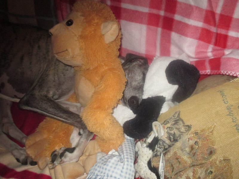Izan galgo mâle à l'adoption  Scooby France –  Adopté ! - Page 35 Img_1524