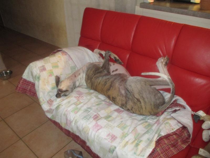 Izan galgo mâle à l'adoption  Scooby France –  Adopté ! - Page 35 Img_1625