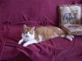 ROUKY - 1 an - Mâle tigré roux et blanc 100_6011