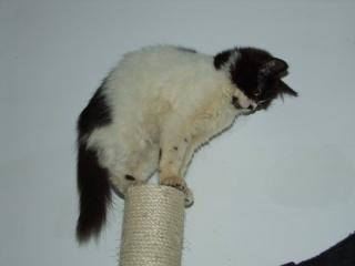 POLOCHON - 7 mois - Mâle angora noir et blanc croisé persan 16626910