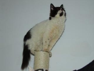 POLOCHON - 7 mois - Mâle angora noir et blanc croisé persan 16626911