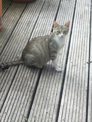 FALBALA - Adulte jeune - Femelle tigrée grise & blanche 20120915