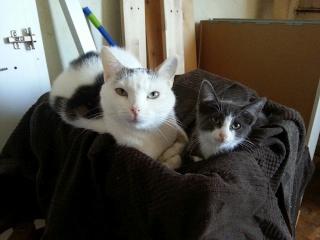HARIBO - 6 mois - Mâle gris chartreux (bleu) & nez + bout des pattes blanc 20120920