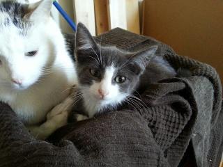 HARIBO - 6 mois - Mâle gris chartreux (bleu) & nez + bout des pattes blanc 20120921