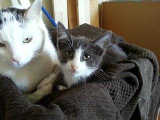 HARIBO - 6 mois - Mâle gris chartreux (bleu) & nez + bout des pattes blanc 20120922
