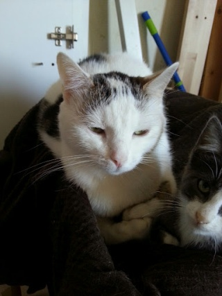 MELODIE - 2 ans - Femelle blanche et marbrée marron 20120924
