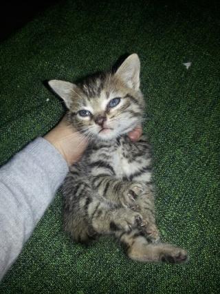 HECTOR - Mâle tigré marron non sevré => Adoptable début novembre 20121023
