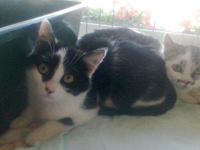 ACHARA - 5 mois - Femelle noire & blanche Achara10