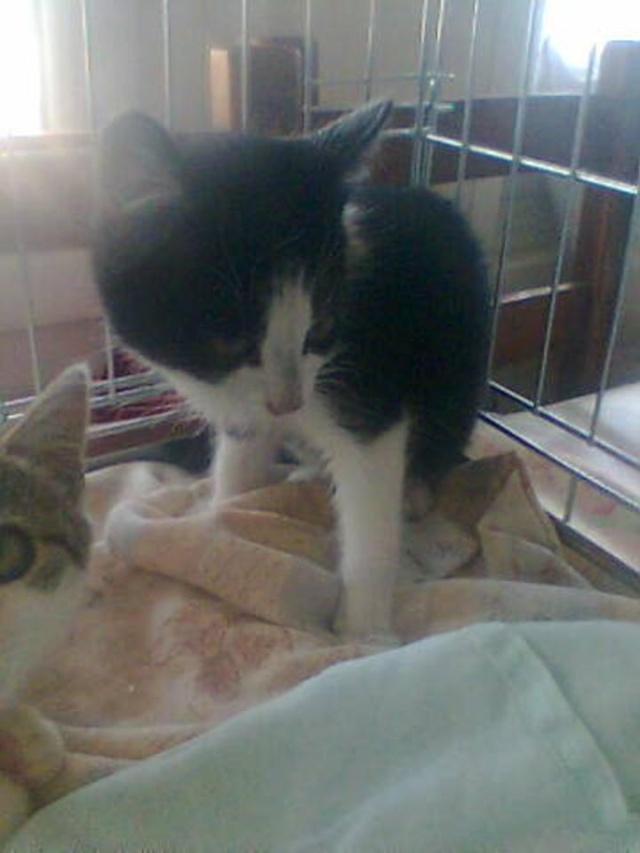 HERMES - 2 mois - Femelle noire & blanche Angel10
