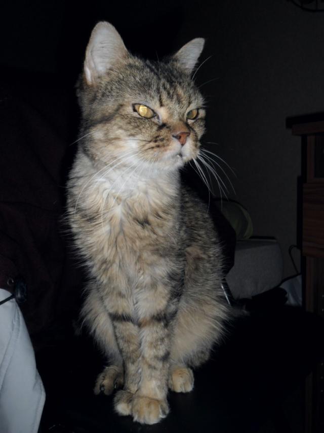 CANNELLE - 7 ans - Femelle tigrée marron semi angora croisée persan Cannel10