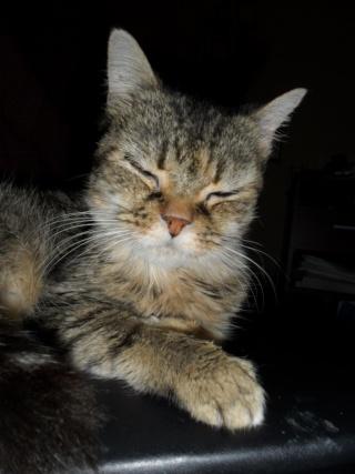 CANNELLE - 7 ans - Femelle tigrée marron semi angora croisée persan Cannel11