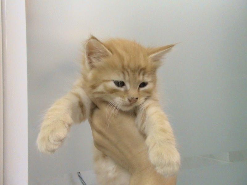 ODDY & ZAO - 2 chatons mâles tigrés roux - en cours de sevrage Dsc01912