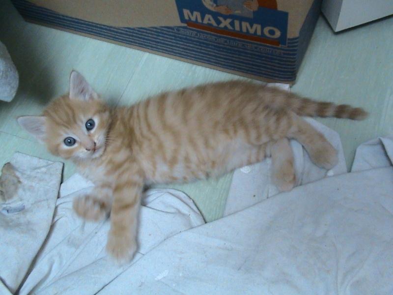 ODDY & ZAO - 2 chatons mâles tigrés roux - en cours de sevrage Dsc02012