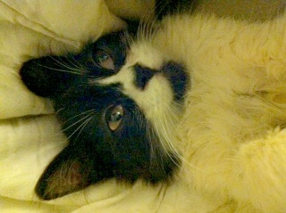 POLOCHON - 7 mois - Mâle angora noir et blanc croisé persan Poloch11