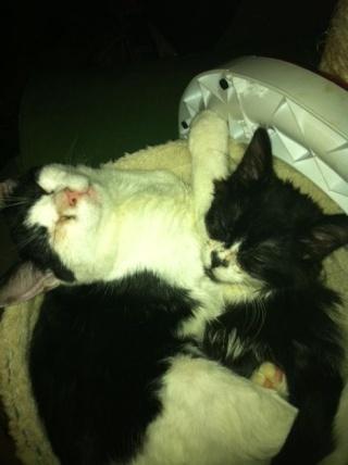 POLOCHON - 7 mois - Mâle angora noir et blanc croisé persan Poloch15