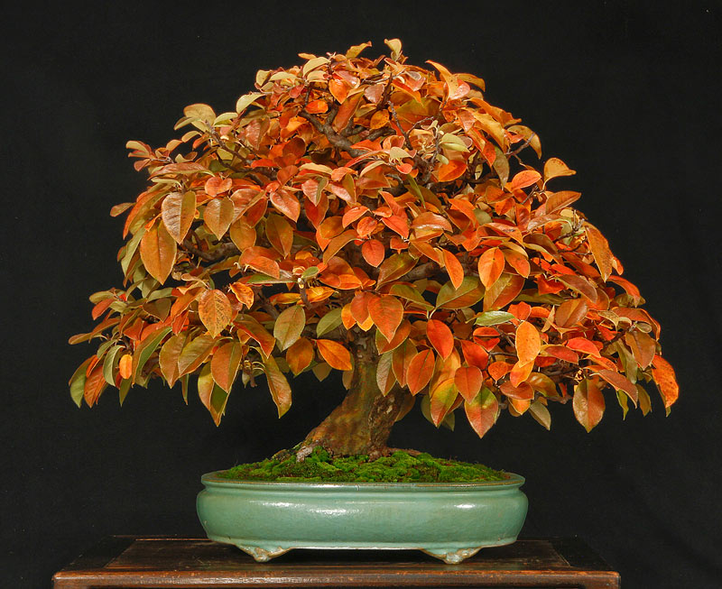 AUTUMN BONSAI IN ROCHESTER, NY Chines11