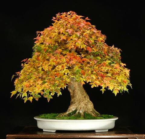 Kiddie Streasureams Cool Bonsai Tree Rochester Ny