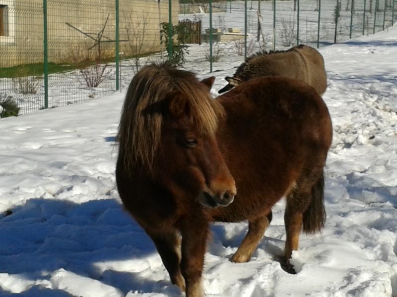 NOISETTE - ONC poney typée shetland née en 2000 - adoptée en juillet 2013 par Patrick  - Page 2 20150211