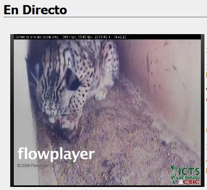 Iberian lynx cam Lince_11