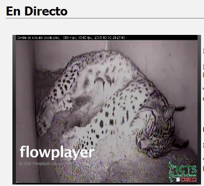 Iberian lynx cam Lince_13
