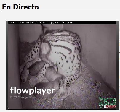 Iberian lynx cam Lince_16