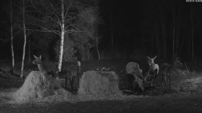 Red Deer Cam (Saarema Island)  - Page 18 Vlcsna16