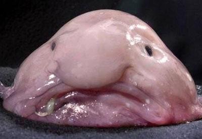 Le blobfish aussi étrange que menacé Poisso10