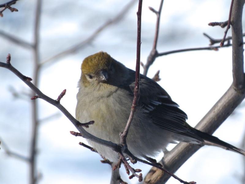 Un nouveau venu à Contrecoeur Oiseau10