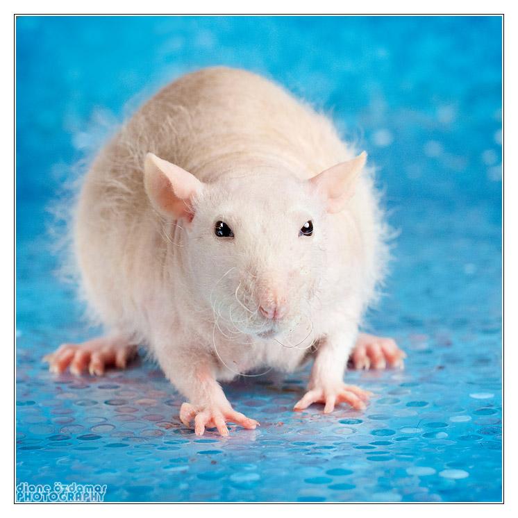 [GÉNÉTIQUE]  Types de poil, morphologie et couleurs d'yeux du rat _mg_3214