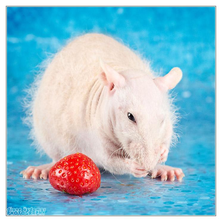 [GÉNÉTIQUE]  Types de poil, morphologie et couleurs d'yeux du rat _mg_3217