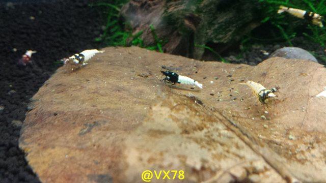 Les crevettes de chez VX78 - Page 12 X110