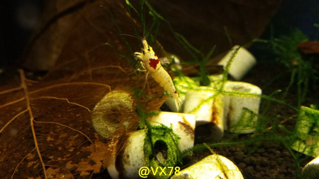 Les crevettes de chez VX78 - Page 12 X310