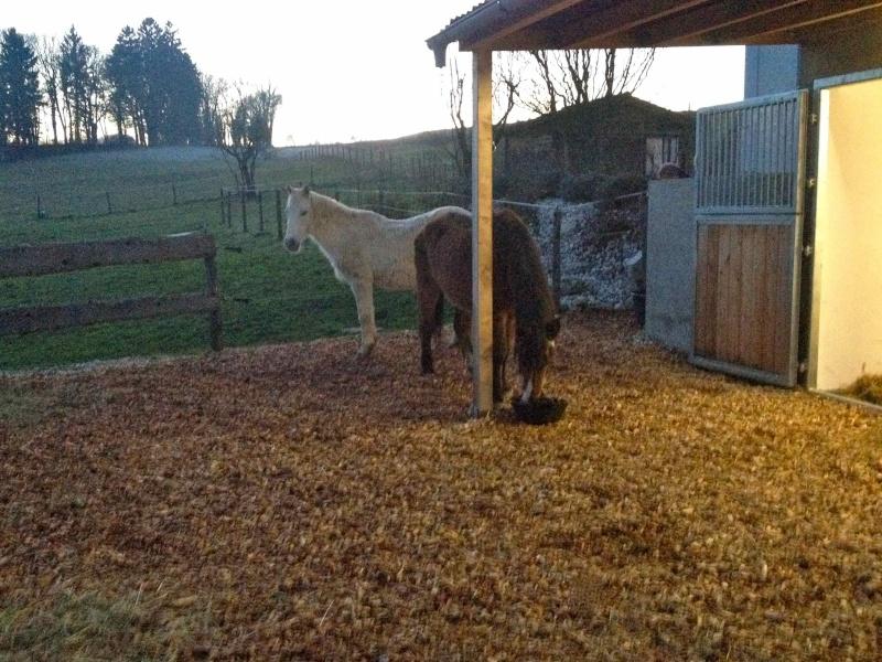 SAFRAN - Welsh Pony né en 1984 - adopté en janvier 2015 par Fabienne St6jan10