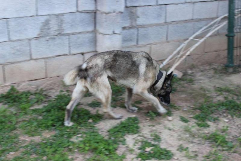 sauvetage en cours, Lena, chienne malade trouvée au bord de la route, Murcia Espagne. janvier 2015. Img_1312