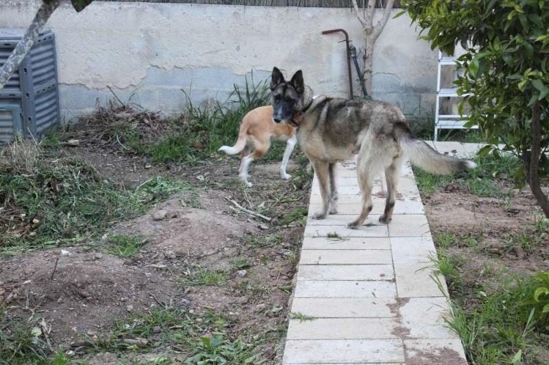 sauvetage en cours, Lena, chienne malade trouvée au bord de la route, Murcia Espagne. janvier 2015. Img_1313