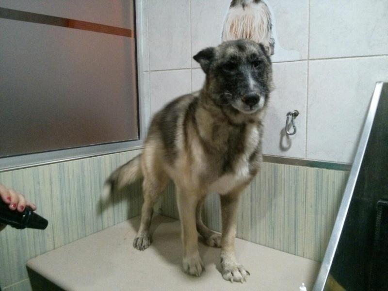 sauvetage en cours, Lena, chienne malade trouvée au bord de la route, Murcia Espagne. janvier 2015. Rps20110