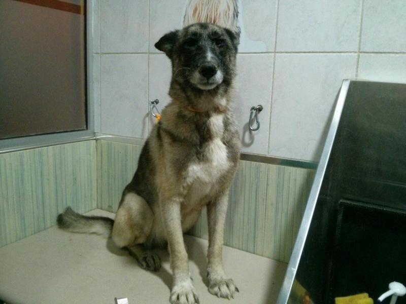 sauvetage en cours, Lena, chienne malade trouvée au bord de la route, Murcia Espagne. janvier 2015. Rps20111