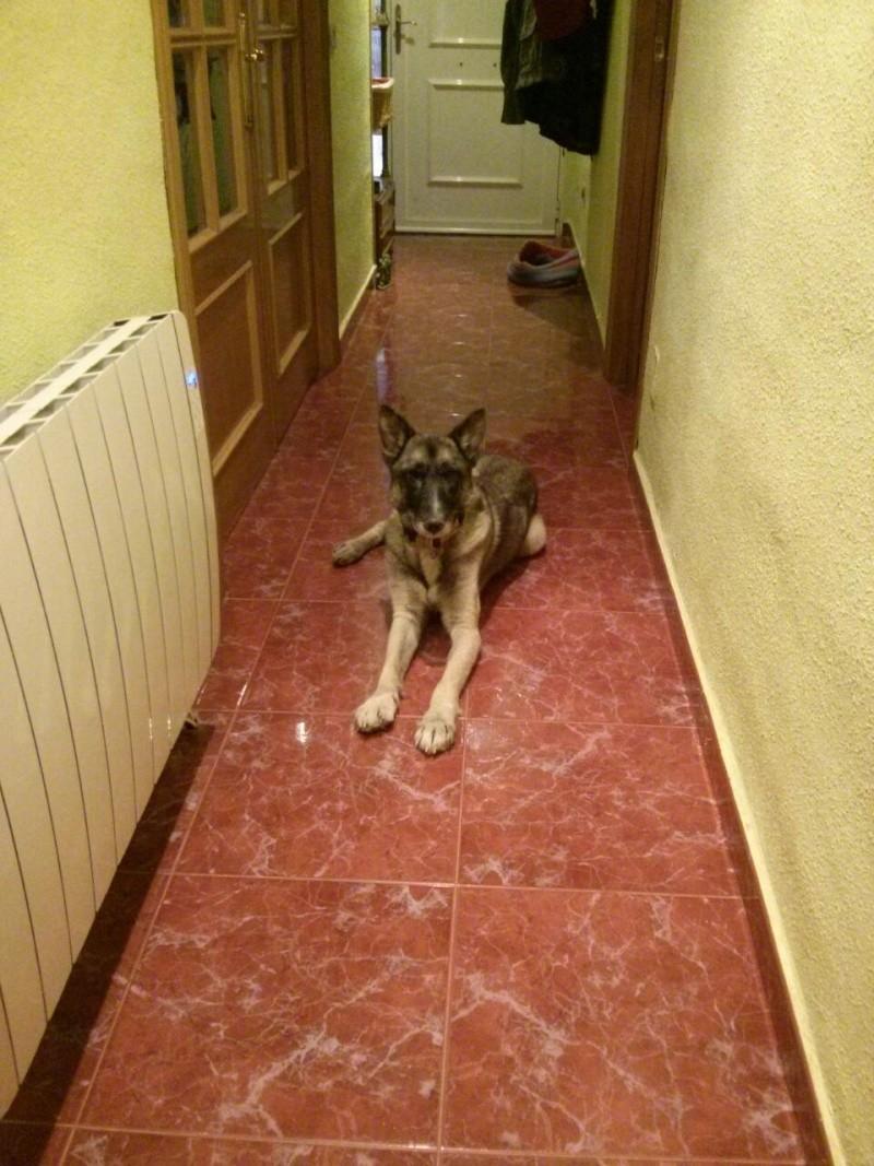 sauvetage en cours, Lena, chienne malade trouvée au bord de la route, Murcia Espagne. janvier 2015. Rps20112